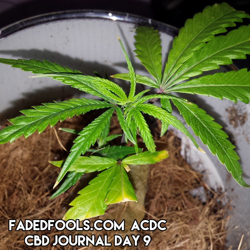 ACDC medical marijuana clone during day 9 of veg growth
